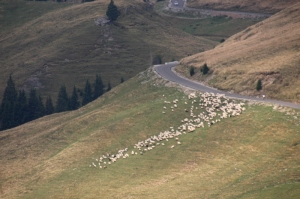 sheep getting off the road
