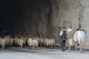 sheep also use the tunnel