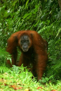 Orang Utan coming out of the jungle
