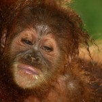 Orang Utan young in the Bukit Lawang reserve