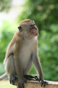 this is a pig-tailed macaque