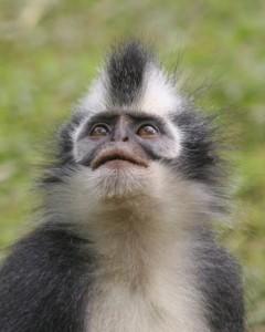 a so-called Thomas leaf monkey