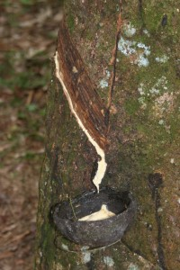 rubber flowing in a coconut
