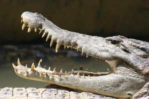 a large crocodile in the Medan crocodile farm
