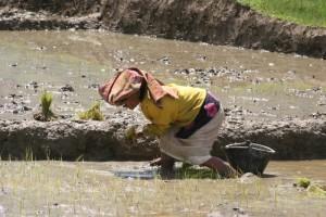woman working the paddies on Samosir