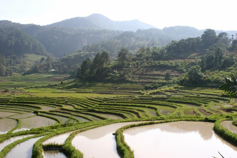 rice paddies in Sumatra