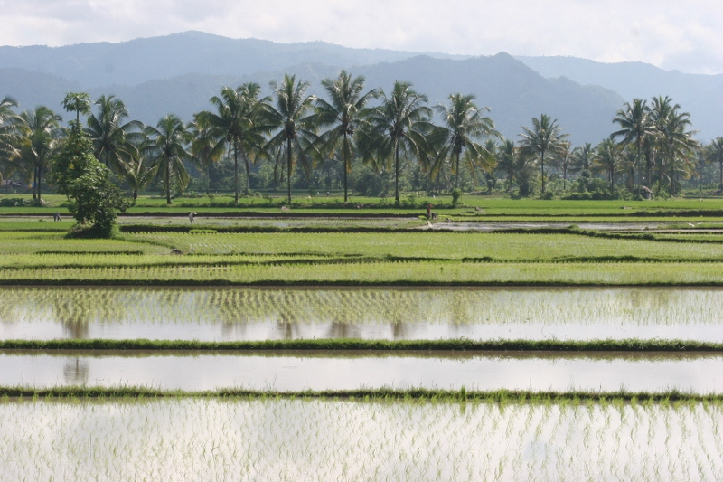 rice paddies, quintessential Sumatra