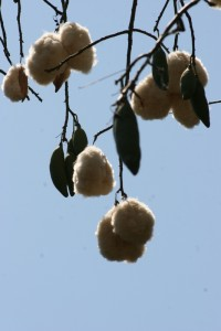 kapok, a fluffy substance used in pillows