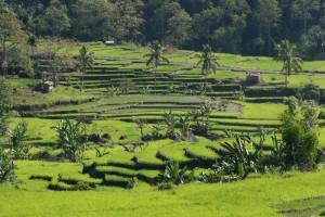 the padis near Moni, in the early morning sun