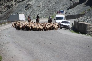 herd of sheep on the way to the tunnel, and summer pastures