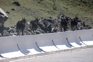 goats along the road, who clearly find walking on the tarmac too dangerous