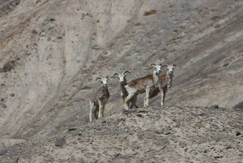 another group of Marco Polo sheep, paitently waiting for the camera