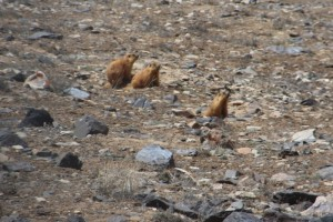marmots popping up from their holes