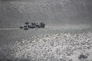 group of yaks traveling on the Afghan side