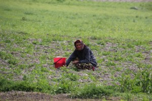 at valley level agriculture is being practised again, unlike in the High Pamirs