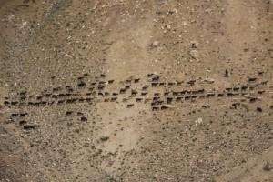 a kudde schapen op de kale helling