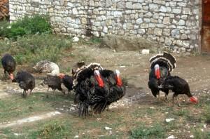 turkeys roaming around in the citadel