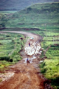 sheep moving through the Albanian countryside