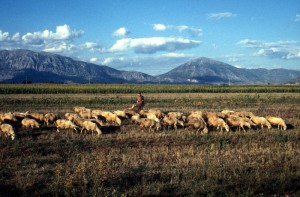 sheep in the late afternoon