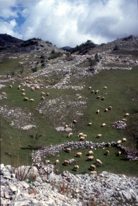 sheep in the mountains behind Tirana