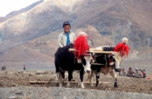 with colourfully decorated yaks, in good spirits