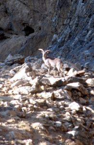 possibly a Tibetan Blue Sheep? (near Everest basecamp)