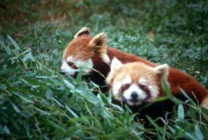 the less-wellknown family member, the red panda