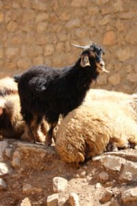 one goat being alert