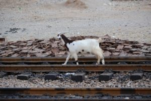 goats, too, use the tracks