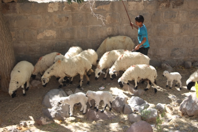 boy with his sheep
