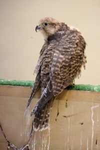 and another falcon, curiously looking around