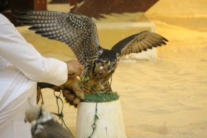 one of the locals testing out a falcon
